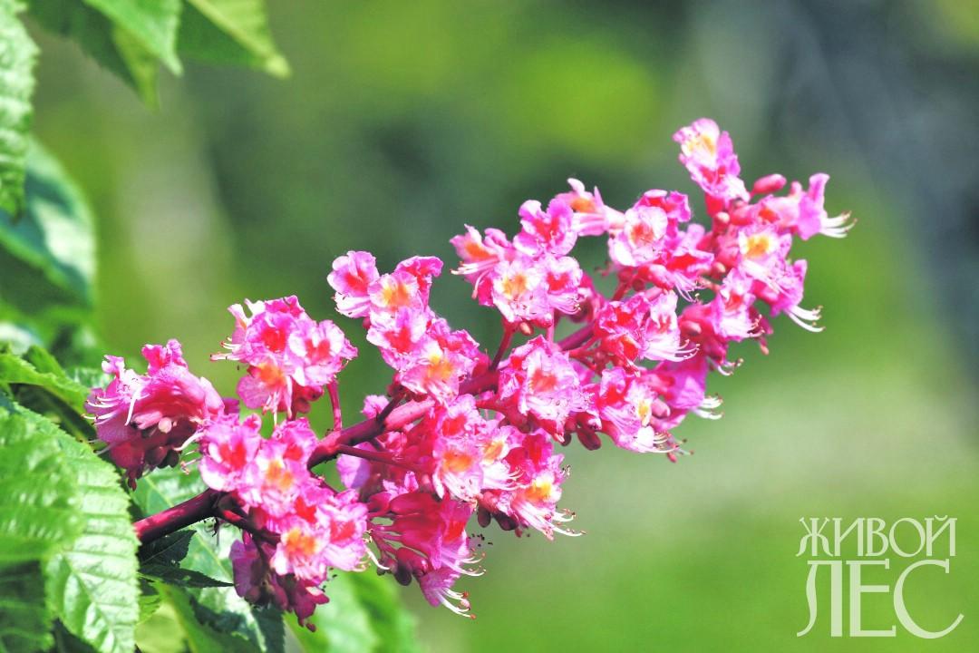 цветение каштана