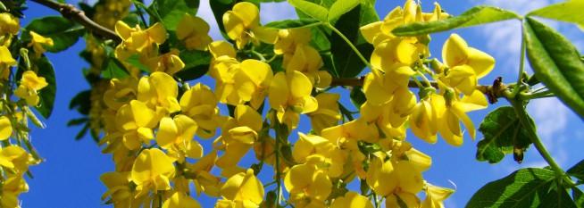 yellow-flowered-acacia-gold-777534