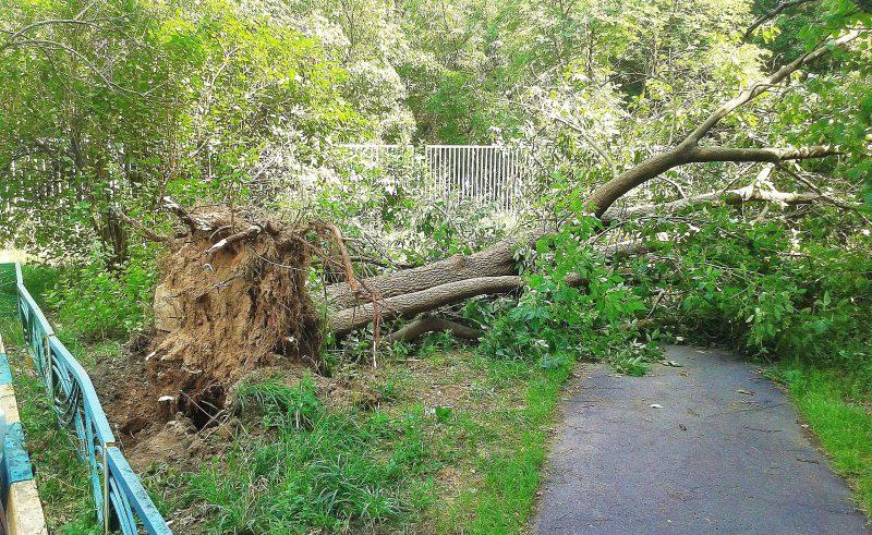 Почему упало дерево? Подрубание корней